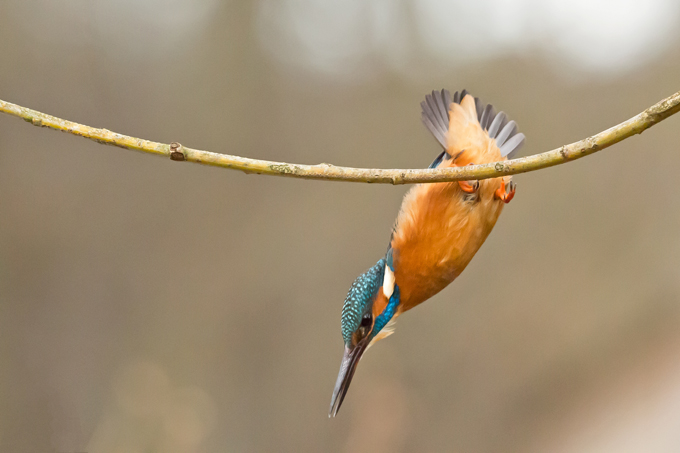 Eisvogel, Common kingfisher (<em>Alcedo atthis</em>)
