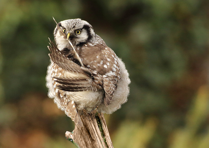 Sperbereule, Northern hawk-owl  (<em>Surnia ulula</em>)