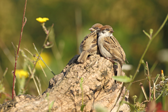 Feldsperling, Tree sparrow  (<em>Passer montanus</em>)