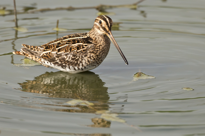 Bekassine, Common snipe (<em>Gallinago gallinago</em>)