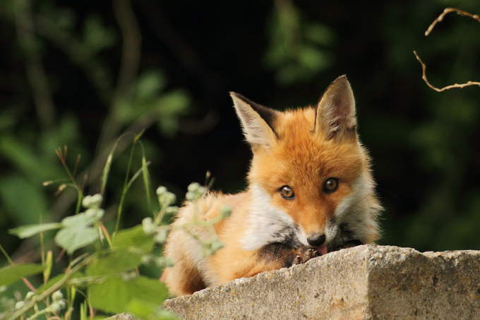 Rotfuchs, Red fox (<em>Vulpes vulpes</em>)