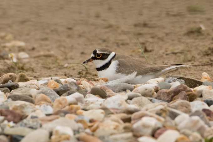 Flussregenpfeifer, Little ringed plover (<em>Charadrius dubius</em>)