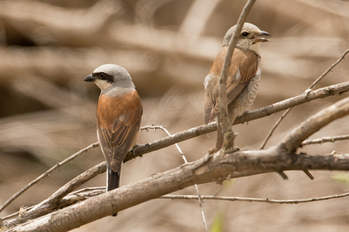 Neuntöter, Red-backed shrike (<em>Lanius collurio</em>)