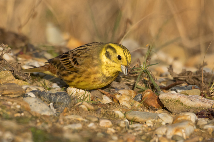 Goldammer, Yellowhammer (<em>Emberiza citrinella</em>)