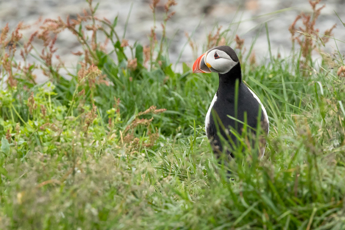 Papageitaucher, Atlantic puffin (<em>Fratercula arctica</em>)