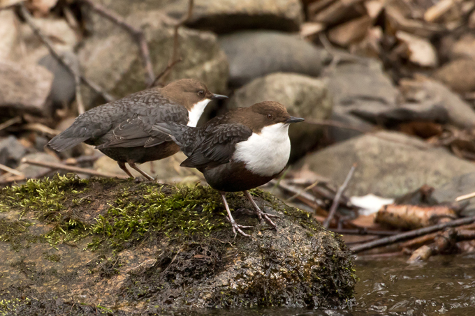 Wasseramsel, White-throated dipper (<em>Cinclus cinclus</em>)